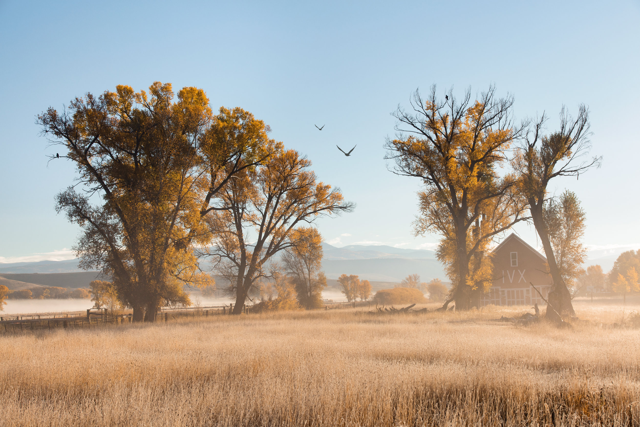 Geese flying through a small stand of Cottonwood tree's close to Gunnison.