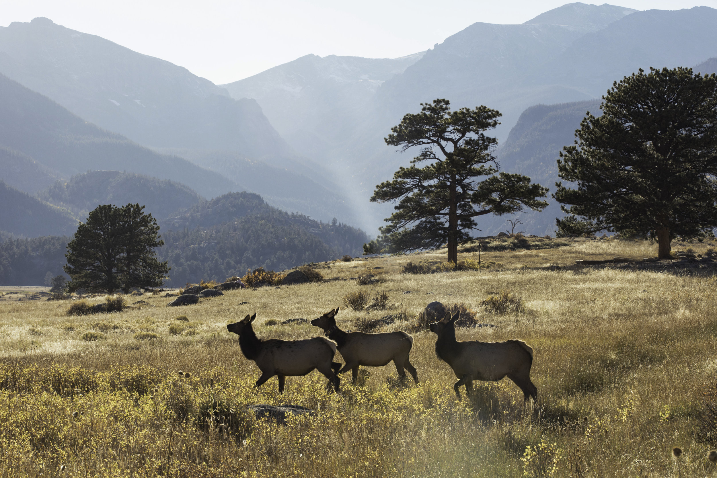 Elk running through the meadows at the Rocky Mountain National Park