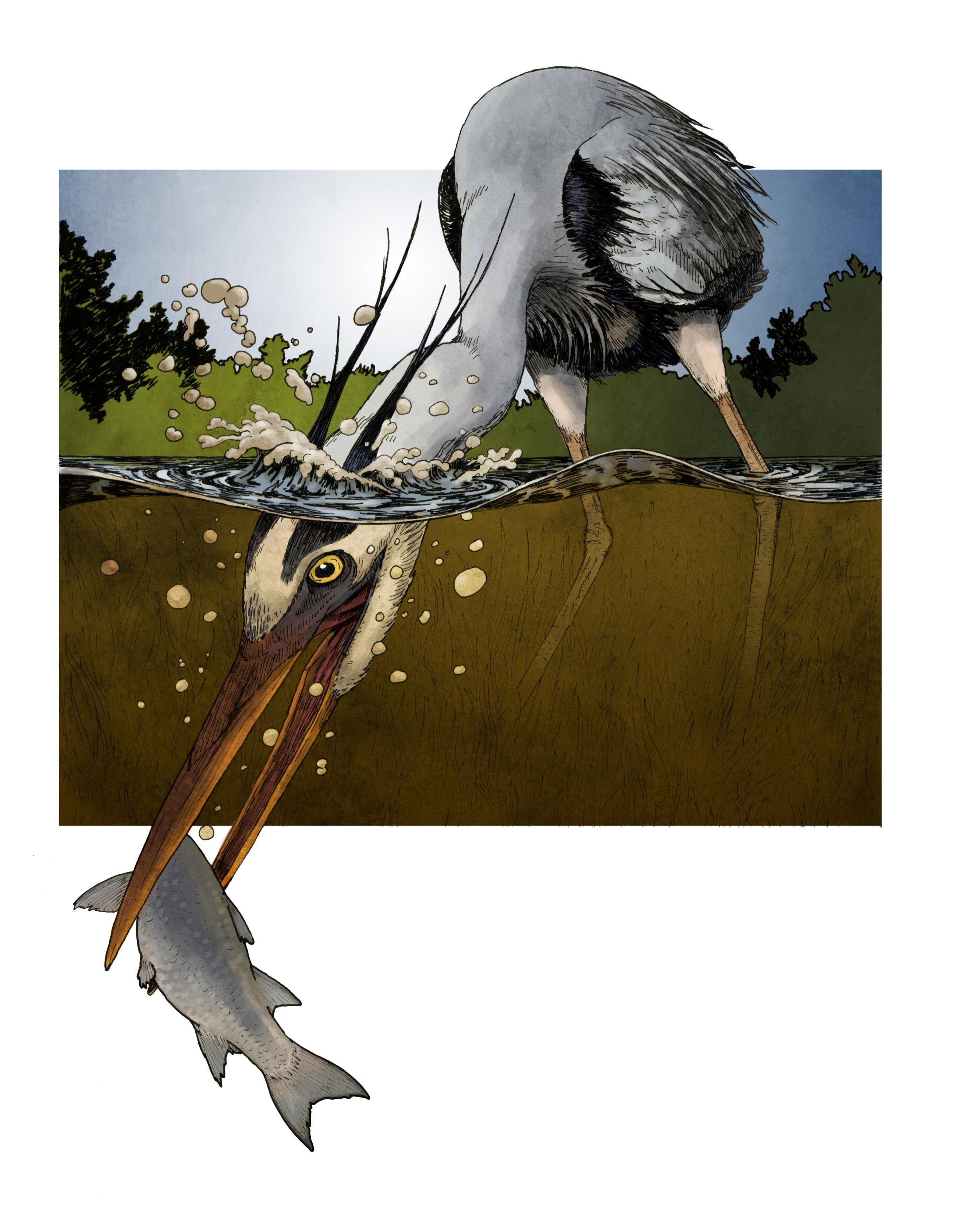 Great Blue Heron Feeding