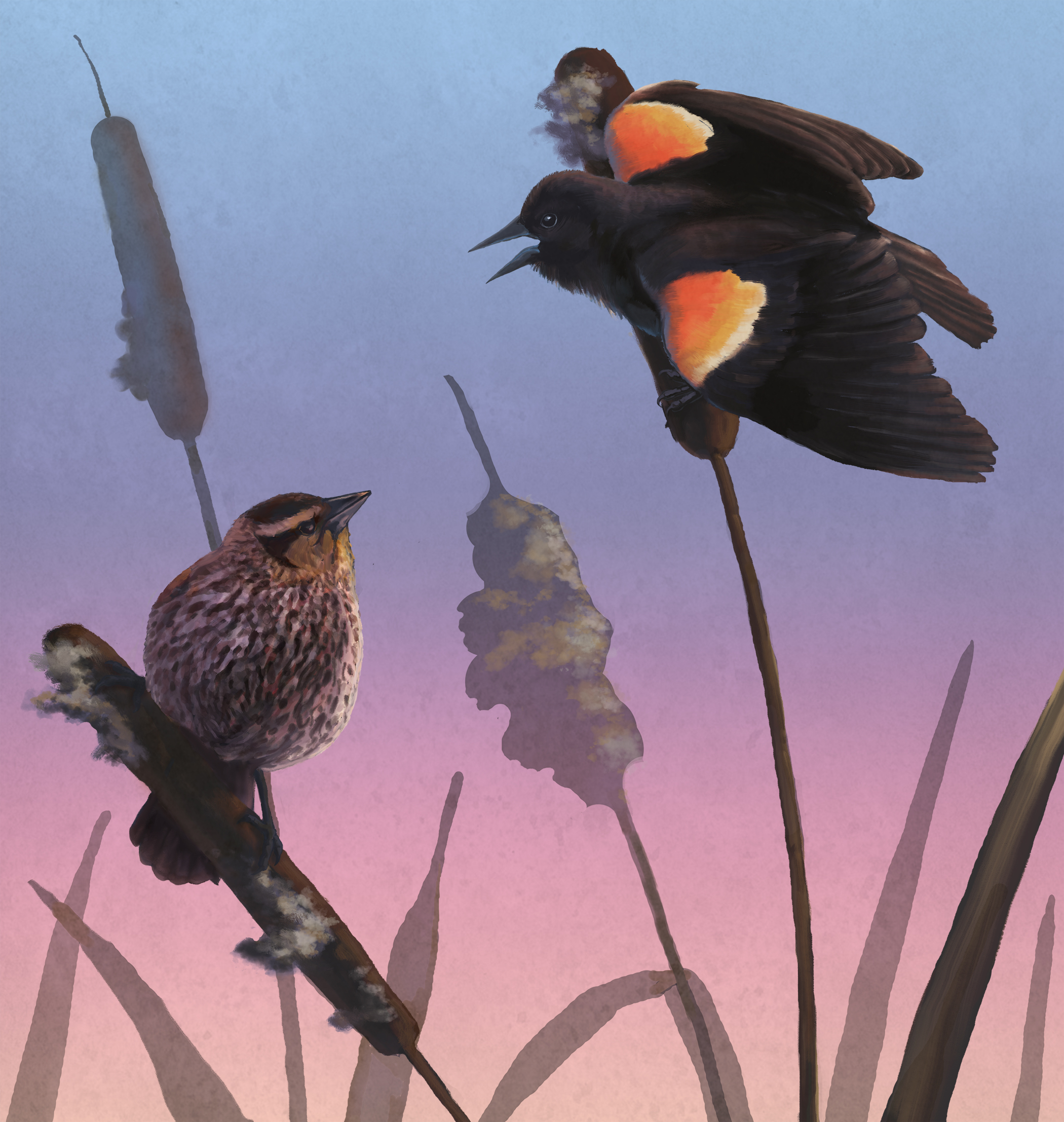 Red-Winged Black Bird Dimorphism