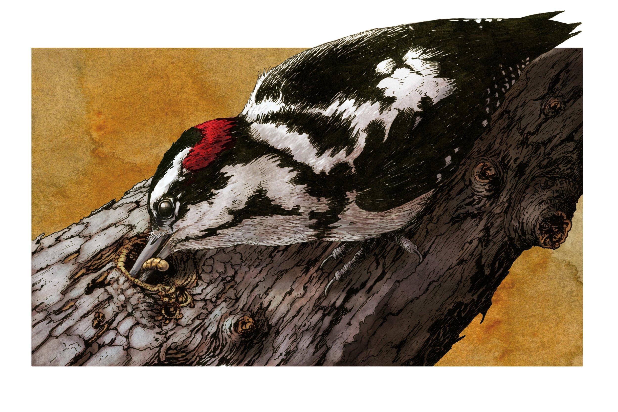 Downy Woodpecker Feeding