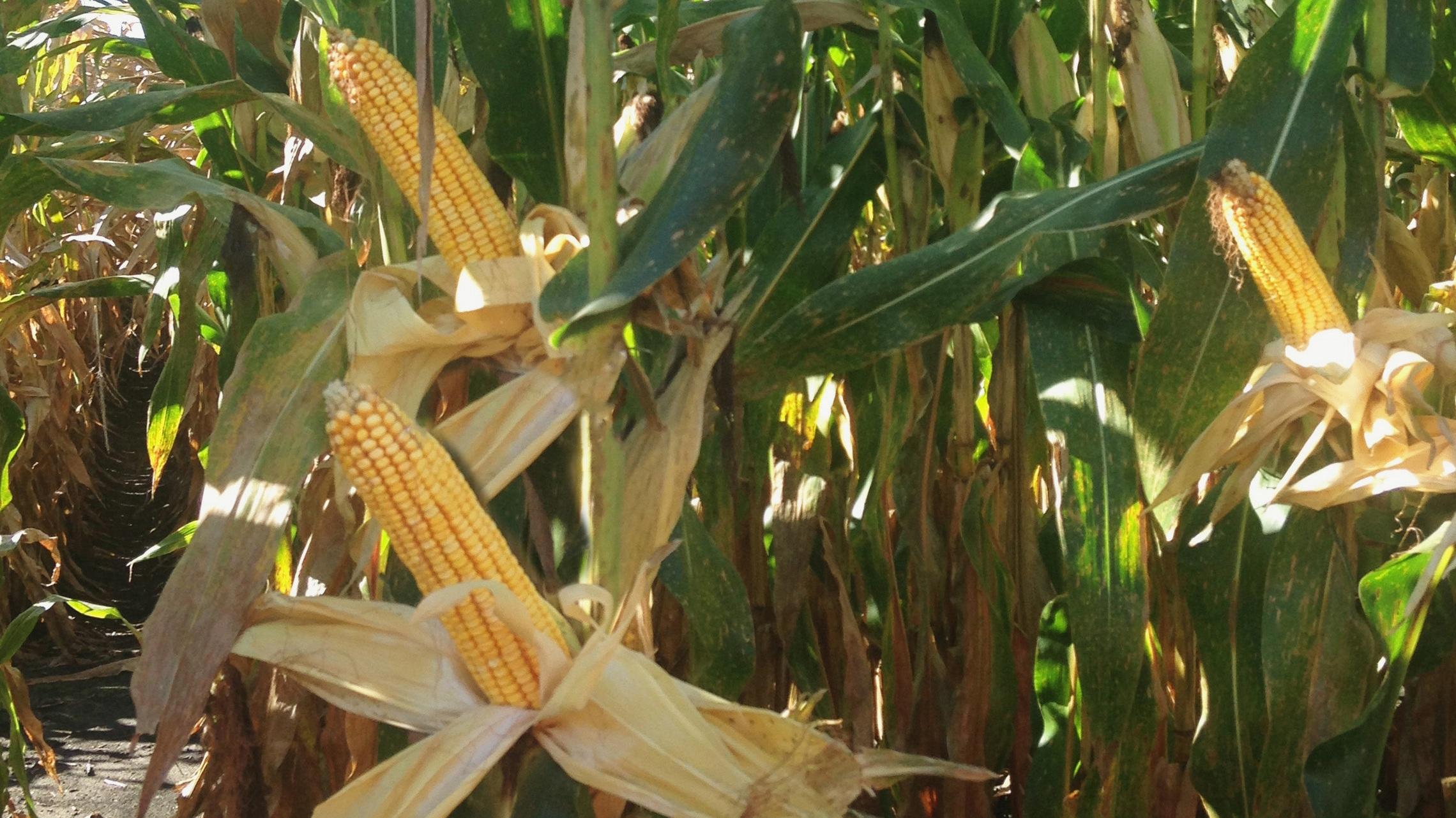 - Corn