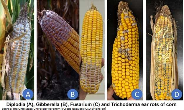 corn ear rot photo from OSU.jpg