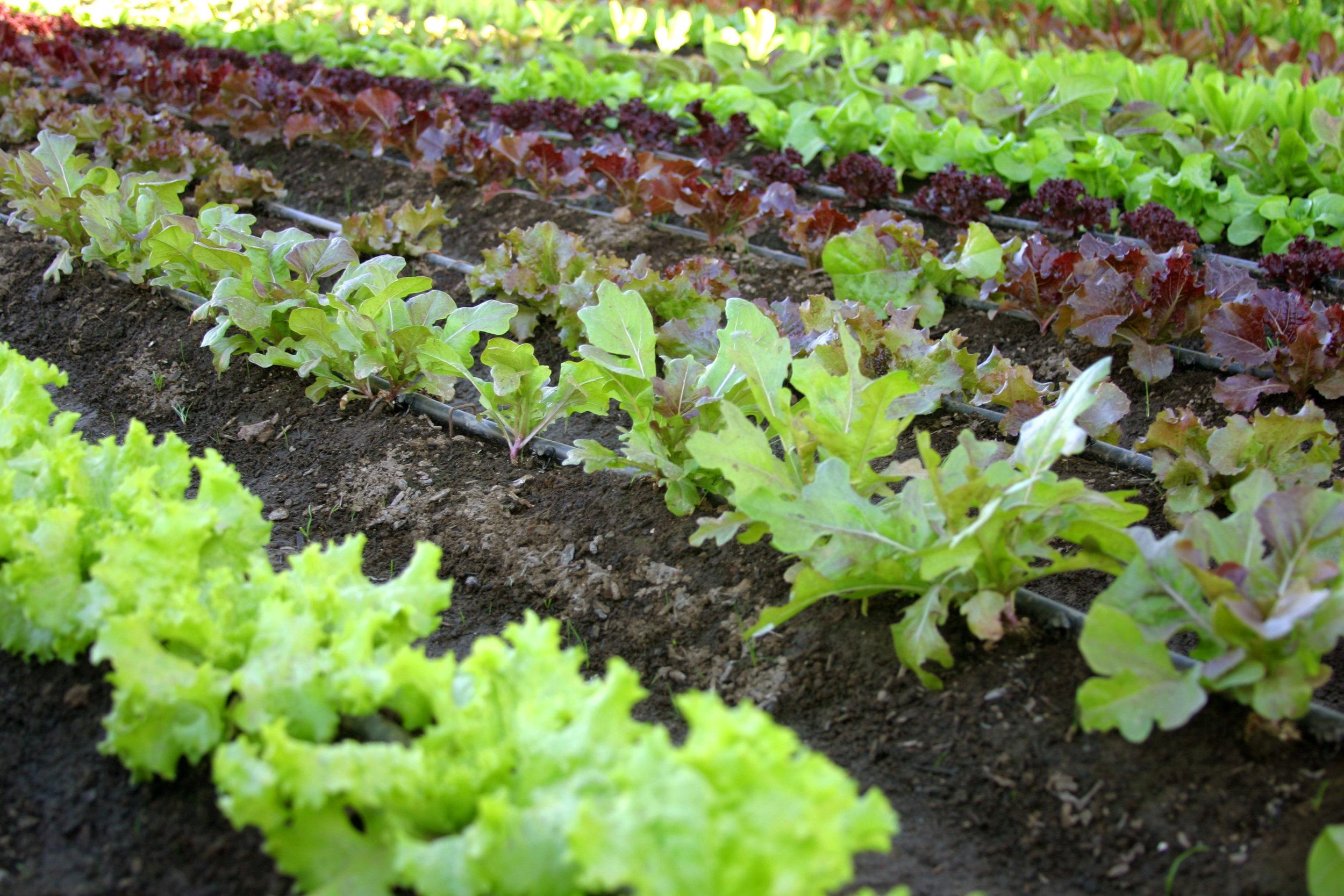 lettuce sxc .jpg