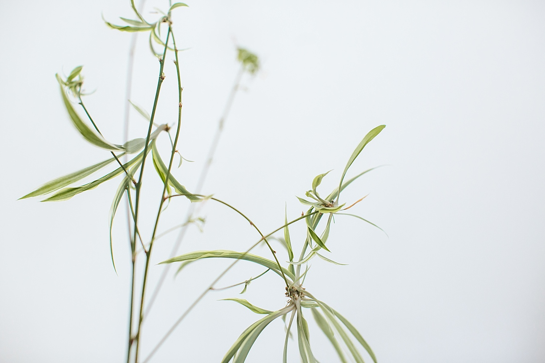 -spider_plant-0004.jpg