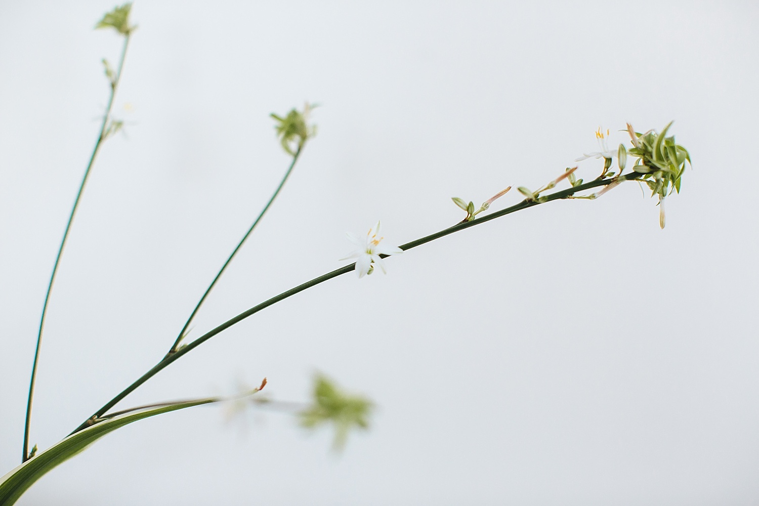 White flowers will grow before your plantlets and if they do not maybe leave it longer between watering.