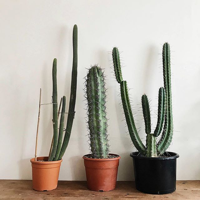 I don't like to say I have favourites but these Three have been with me through thick and thin. 😍🌵🌵🌵