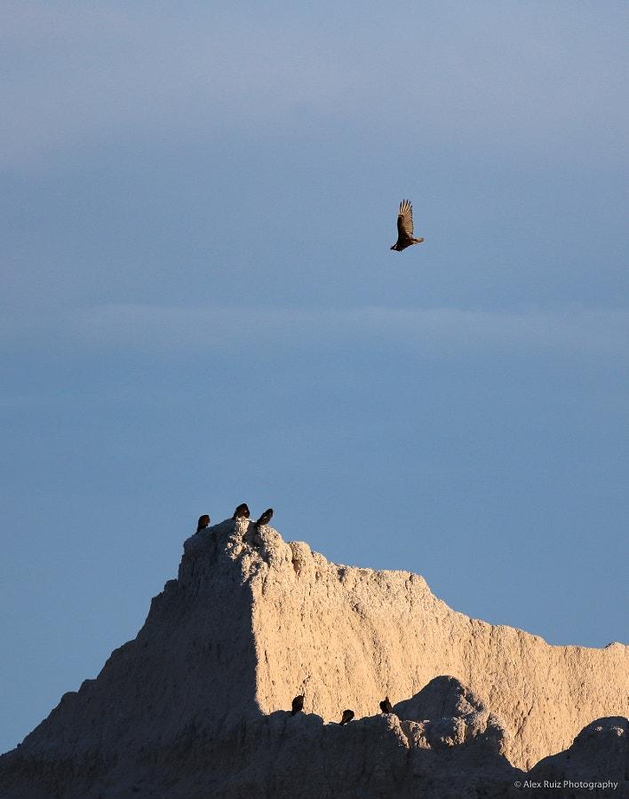 Turkey Vulture Soars Over Ridges
