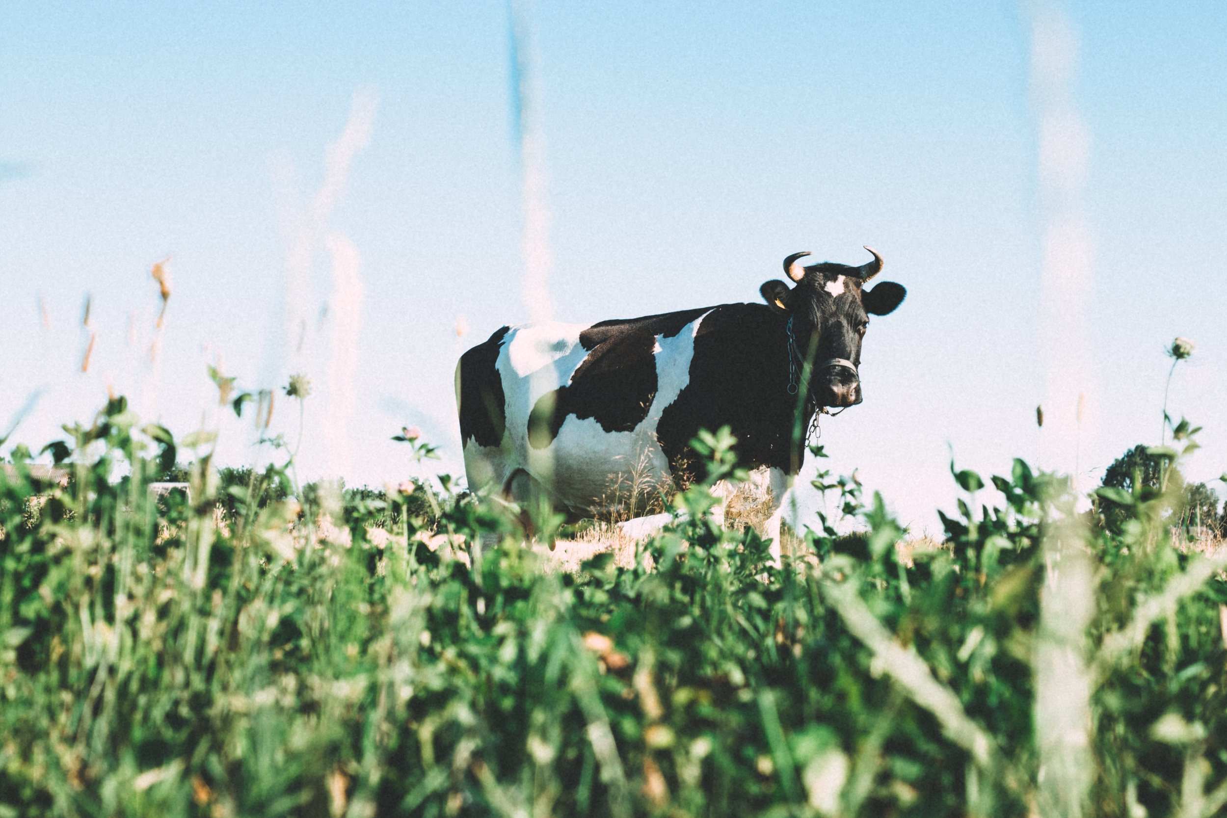 Colostrum is the first milk produced by humans and other mammals such as cows. It is nutrient-dense and has been used by humans for its health benefits since antiquity.