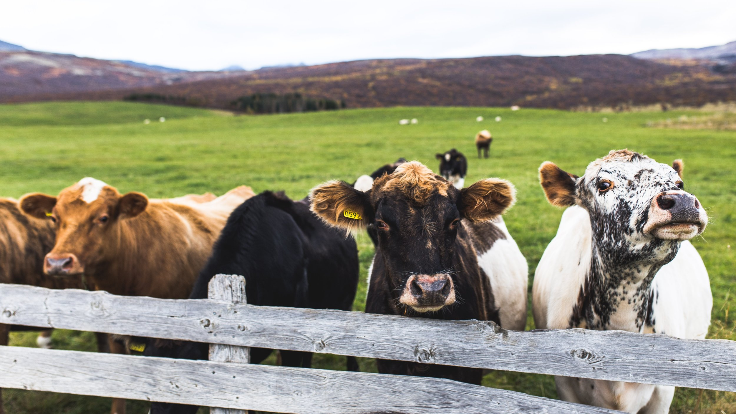 Raising ruminant animals on grass allows them to live a life in-line with their biological needs, while producing meat that is healthier than grain-fed meat.