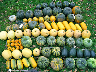 Some of the many varieties in Will Bonsall's  Cucurbita pepita trials. Photo by Will Bonsall