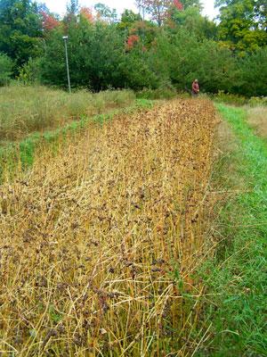 Buckwheat growing at Khadigar Farm. Photo by Will Bonsall.