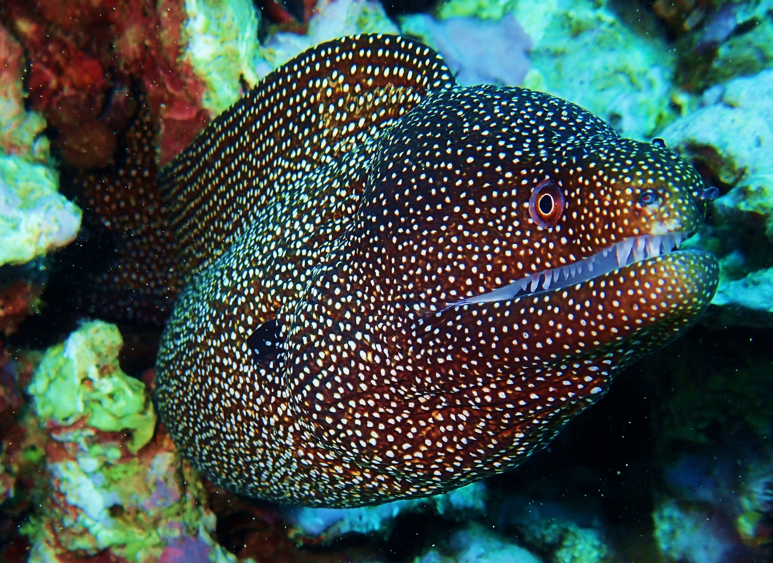 MORAY EELS - Eels do not have dorsal (side) fins so they look like swimming snakes. Their colors range from black, brown, blue, green, yellow, and white. They are more often spotted or have intricate multi-colored patterns. Eels hide in crevices and pounce on their unsuspecting prey as they swim by. They prefer shallow reefs because there's plenty of places to hide. They dine on Squid, Octopus, and hard-shelled invertebrates.