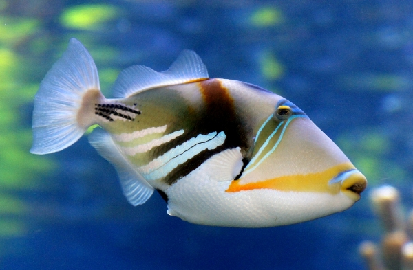 HUMUHUMUNUKUNUKUAPUAA - Hawaii's State Fish. This fish is from the Triggerfish family. It has a snout like a pig which gives it the ability to blow air from its mouth to sift through the bottom sand to get to the algae that it likes to eat. This fish is a loner and it does not like to be crowded. View this beautiful fish from a distance.