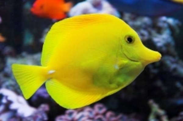 Yellow Tang - This fish is bright yellow and grows up to 20CM. It is bright yellow by day and its body turns to a pale brown at night to camouflage its self from predators. This is one of the most popular aquarium fish. Most often seen in small schools, it is a social fish. It feeds on algae and has prickly spines on both sides of its tail (called a Tang) which it uses to defend its self from predators.