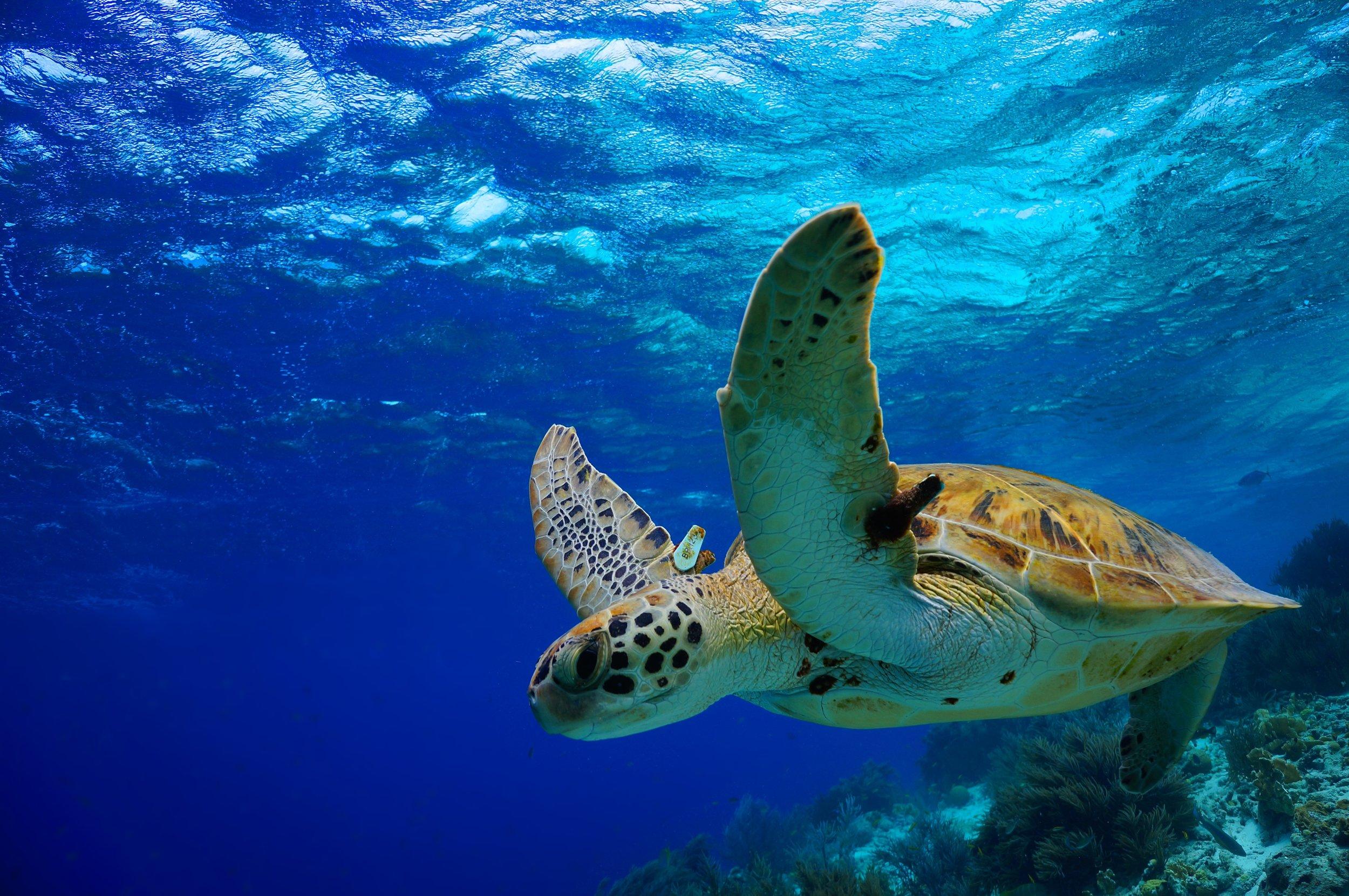 Molokini-Turtles-Maui.jpeg