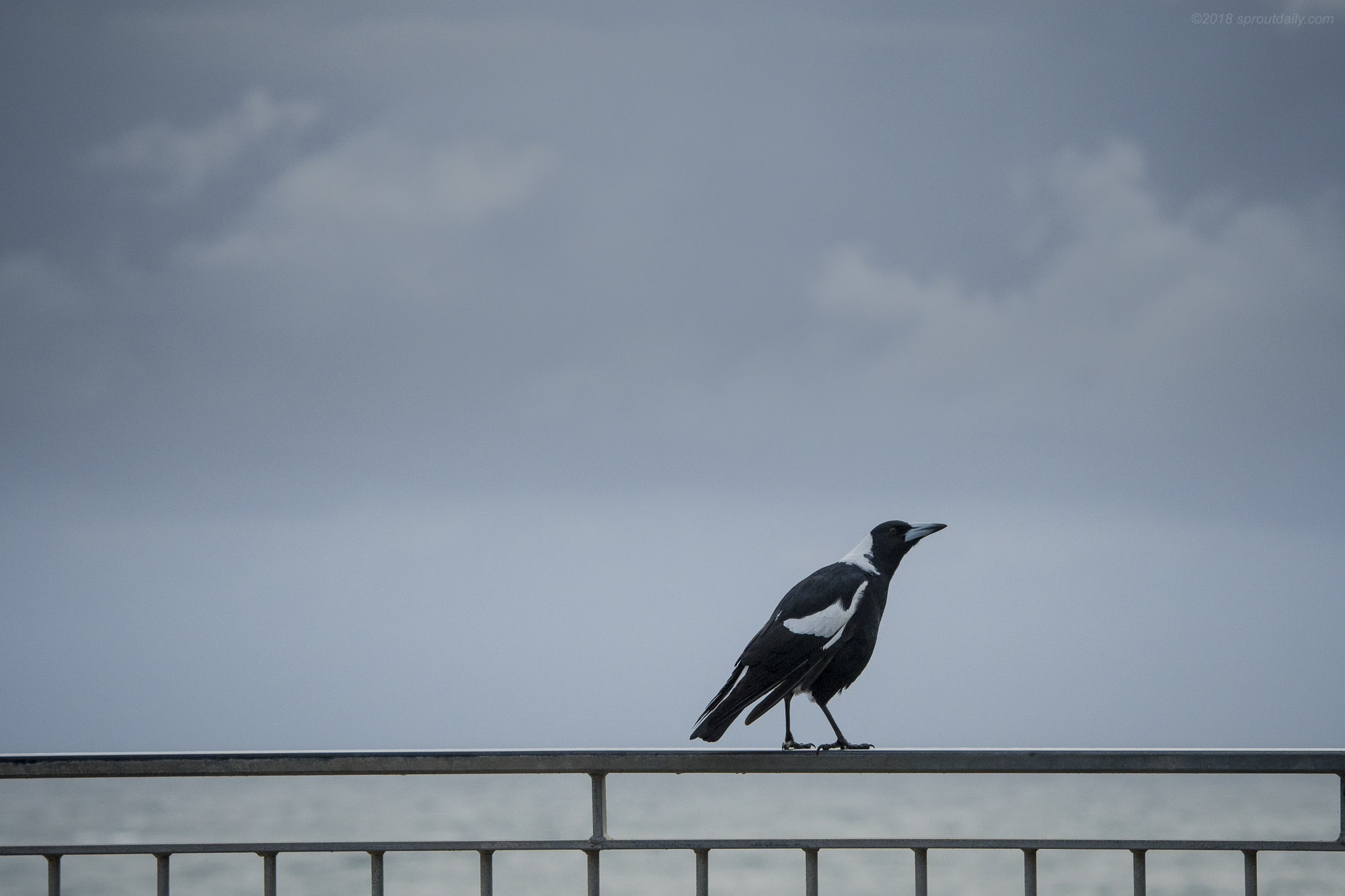 Make Friends with Magpies - They'll remember and spare you!