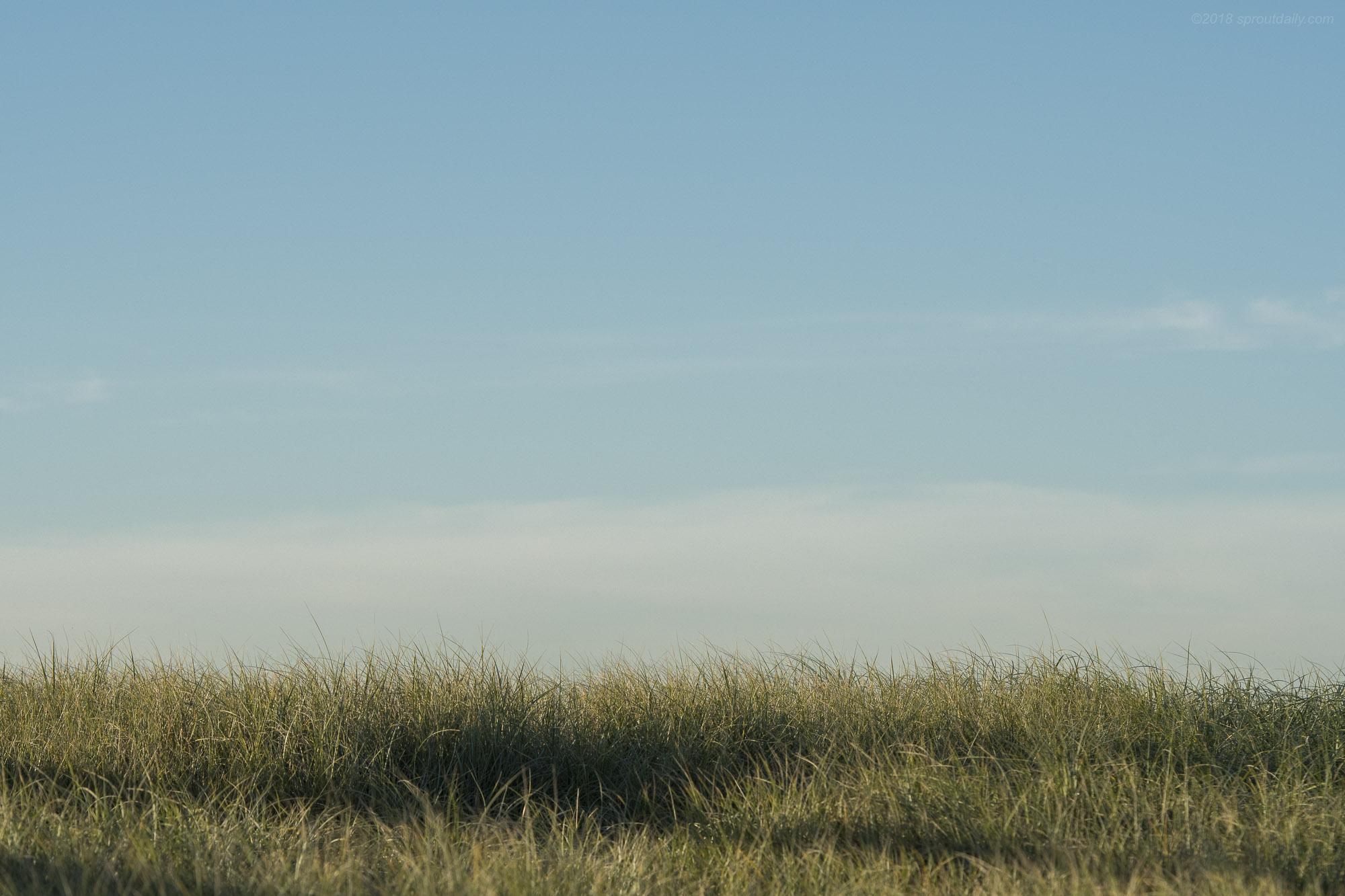 Healthy Dune Grass