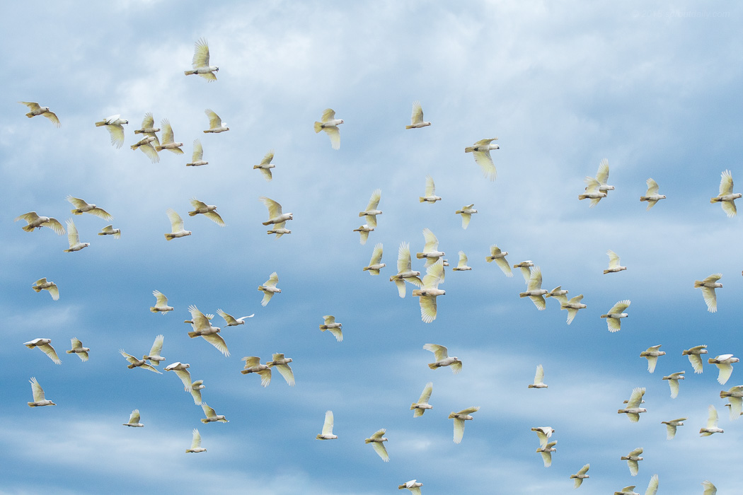 Corella Flight