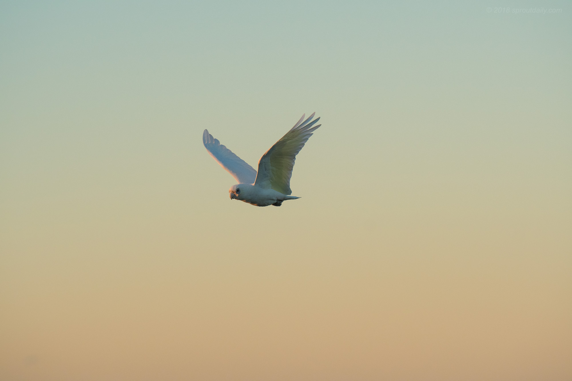 Corella Fly By