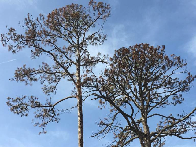 Dead pine trees line some roads in the Palmetto Dunes resort community.Maggie Angst