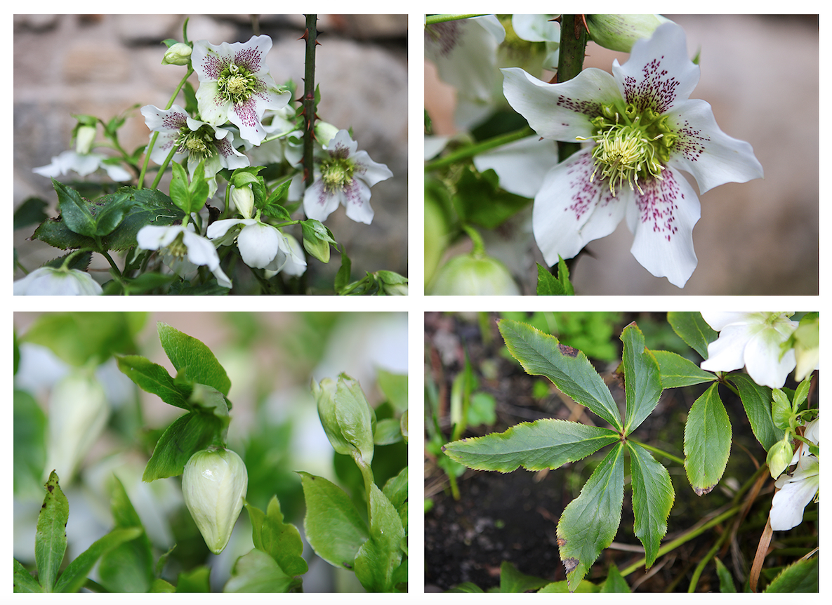 """Flower of the month: March Lenten Rose (Helleborus orientalis)   Despite their common name (also known as the Winter or Christmas Rose), Hellebores are not closely related to the rose and are, rather, members of the buttercup family (Ranunculaceae). As an evergreen perennial flowering plant the hellebores are particularly useful in the Geddes Garden by providing colour and cover all year round, with the added bonus of lovely flowers in late Winter – Early Spring when little else is in flower.  Our Hellebores are showing some signs of Hellebore leaf spot (caused by the fungus Microsphaeropsis hellebori) so we will be removing and destroying infected leaves to prevent further damage. Gerard's Herball (1636) suggests that, """"The root of the Hellebor is good against […] all cold diseases that be of hard curation [but] ought not to bee given inwardly unto delicate bodies without great correction; but it may be safely given unto country people which feed grosly, and have tough and strong bodies"""". This is probably because all parts of the Hellebore are poisonous!"""