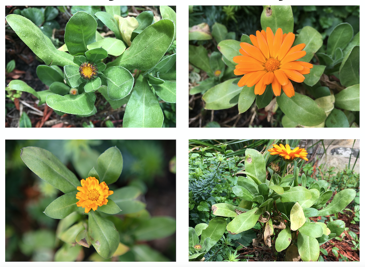 """Plant of the Month – April Pot Marigold (Calendula officinalis)   We can probably thank another (relatively) mild winter for the fact that our Pot Marigolds are flowering again (although technically a perennial they are often treated as an annual due to their susceptibility to cold winters). Although we aren't growing enough to supply Steve the Chef, the flowers (and, less so, the leaves) of Calendula can be used in cooking – hence their common name of 'Pot Marigold'. Although of a different genus than the Common Marigold (Tagetes), both are associated with festivals celebrating the Virgin Mary (i.e. Marigold).  According to Wikipedia, """"The flowers of Calendula officinalis contain flavonol glycosides, triterpene oligoglycosides, oleanane-type triterpene glycosides, saponins, and a sesquiterpene glucoside."""" According to Gerard's Herball (1636), """"Conserve made of the floures and sugar taken in the morning fasting, cureth the trembling of the heart."""" ."""