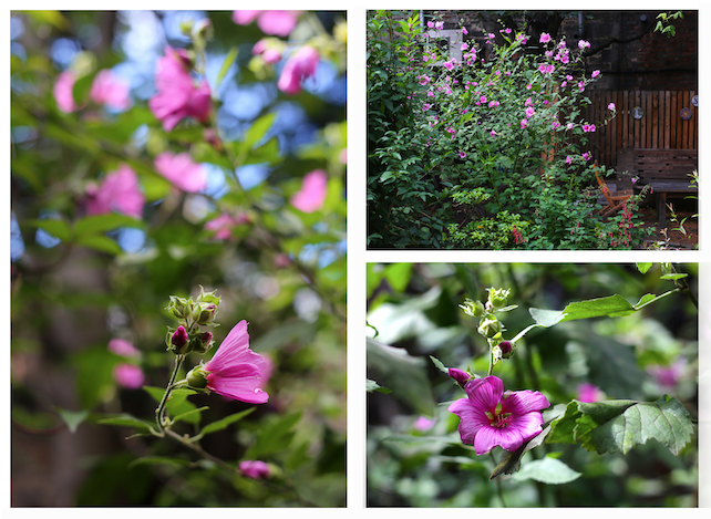"""Plant of the Month – August Tree Mallow (Lavatera arborea or...or…)   What's in a name? This month's plant-of-the-month is a good example of the way in which botanical names for plants can change over time and, as such, can be as confusing as the 'common names' which they were supposed to unify. Hence 'Tree Mallow' was originally given the Latin name, Lavatera arborea. However, as Wikipedia reports, """"Although long considered a species of Lavatera, genetic and morphological analysis […] suggested it was better placed in the genus Malva, in which it was named  Malva dendromorpha. However the earlier name Malva arborea was validly published and has priority over Malva dendromorpha."""" So that's clear then!!  Whatever, that which we call a Mallow by any other name still looks stunning at the moment in the Geddes garden. This very fast-growing shrub can be a bit of a thug, so the garden team (try) to keep it under control through regular and fairly vigorous pruning (which, of course, just in encourages it to grow so in gardening, as with so many aspects of life, you just can't win!).  For those of you (hopefully, none of you!) who rely on Plant-of-the-Month to stock your medicine cabinet, Tree Mallow leaves, have, apparently, been used to make poultices and as an alternative to  toilet-paper."""