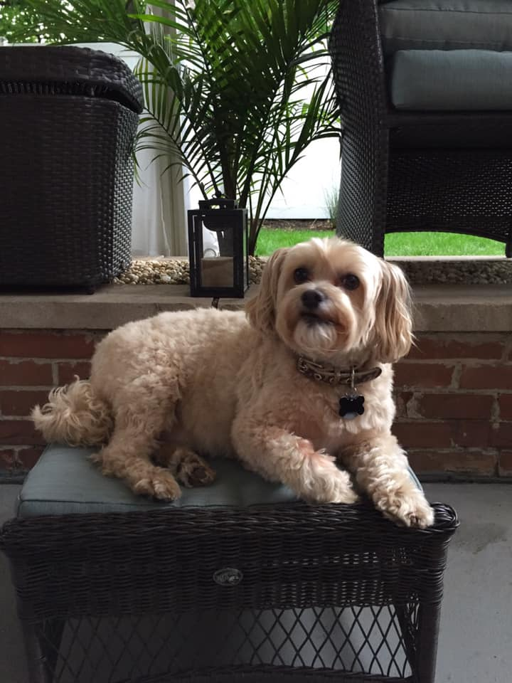 P.J and Lisa Miller's dog Foster, a 9 year old Cockapoo (and Gidget's brother)
