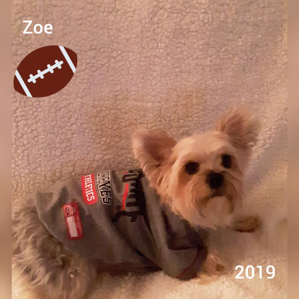 Lisa Webb's dog Zoe, a 3 year old Yorkshire Terrier.
