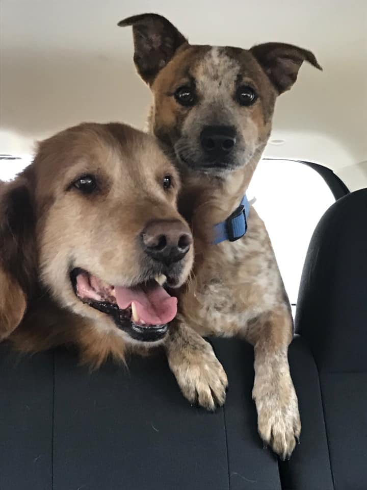 Chris Johnston's dogs, Charly is a 13 year old golden retriever, Tucker is a 4 year old Jack Russell-Blue Heeler mix.