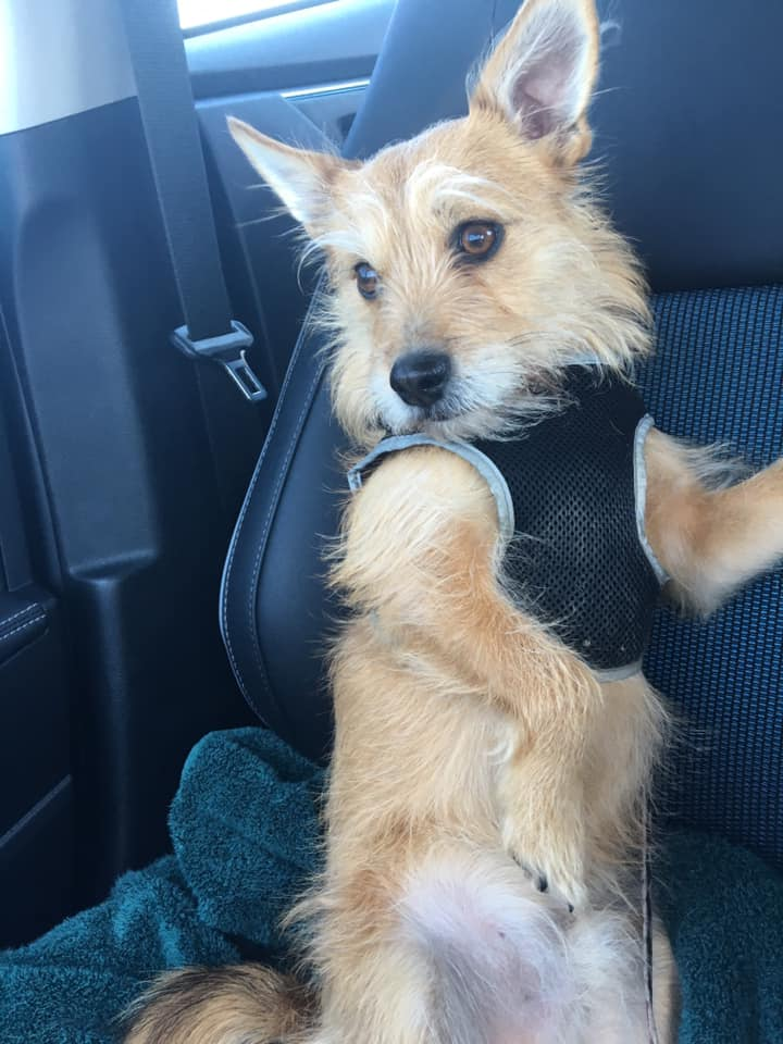Laura Londergan's dog Gus, an 8 year old Carian Terrier mix.