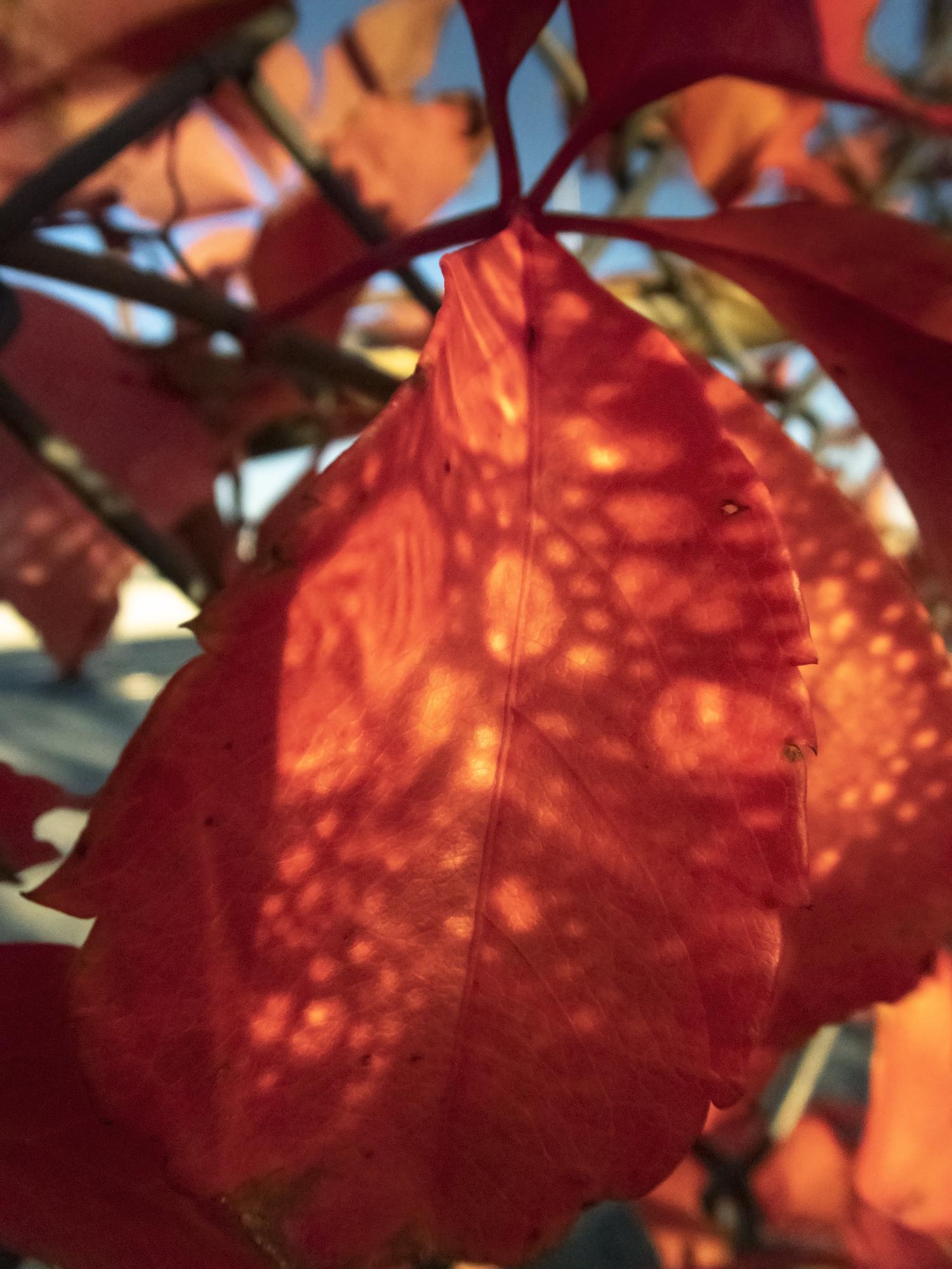 Red leaves (2019)  - 20 x 15 pulgadas- Edición de 5 + 2 P/A, Impresión Inkjet / Inkjet print