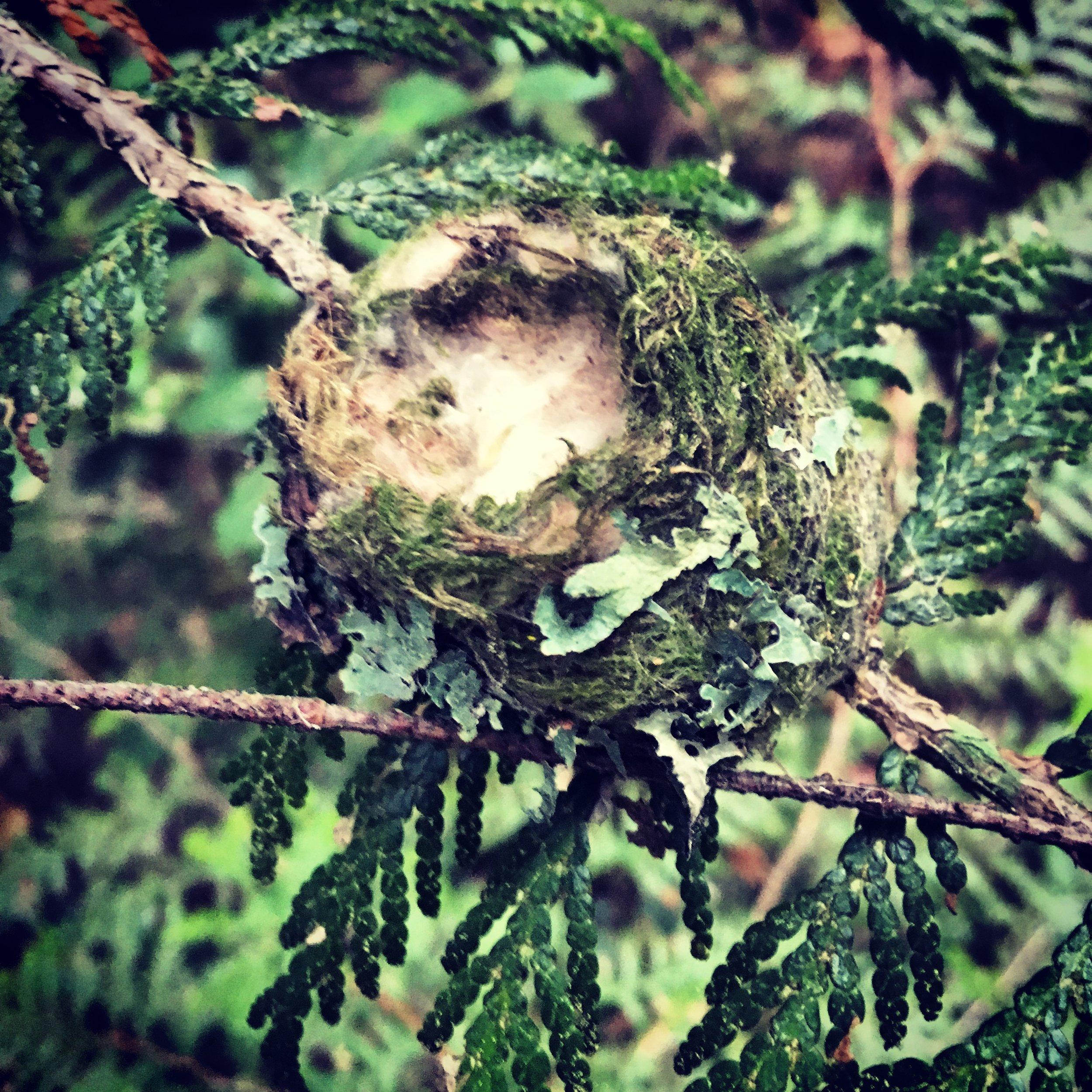 Hummingbird nest in cedar.jpg