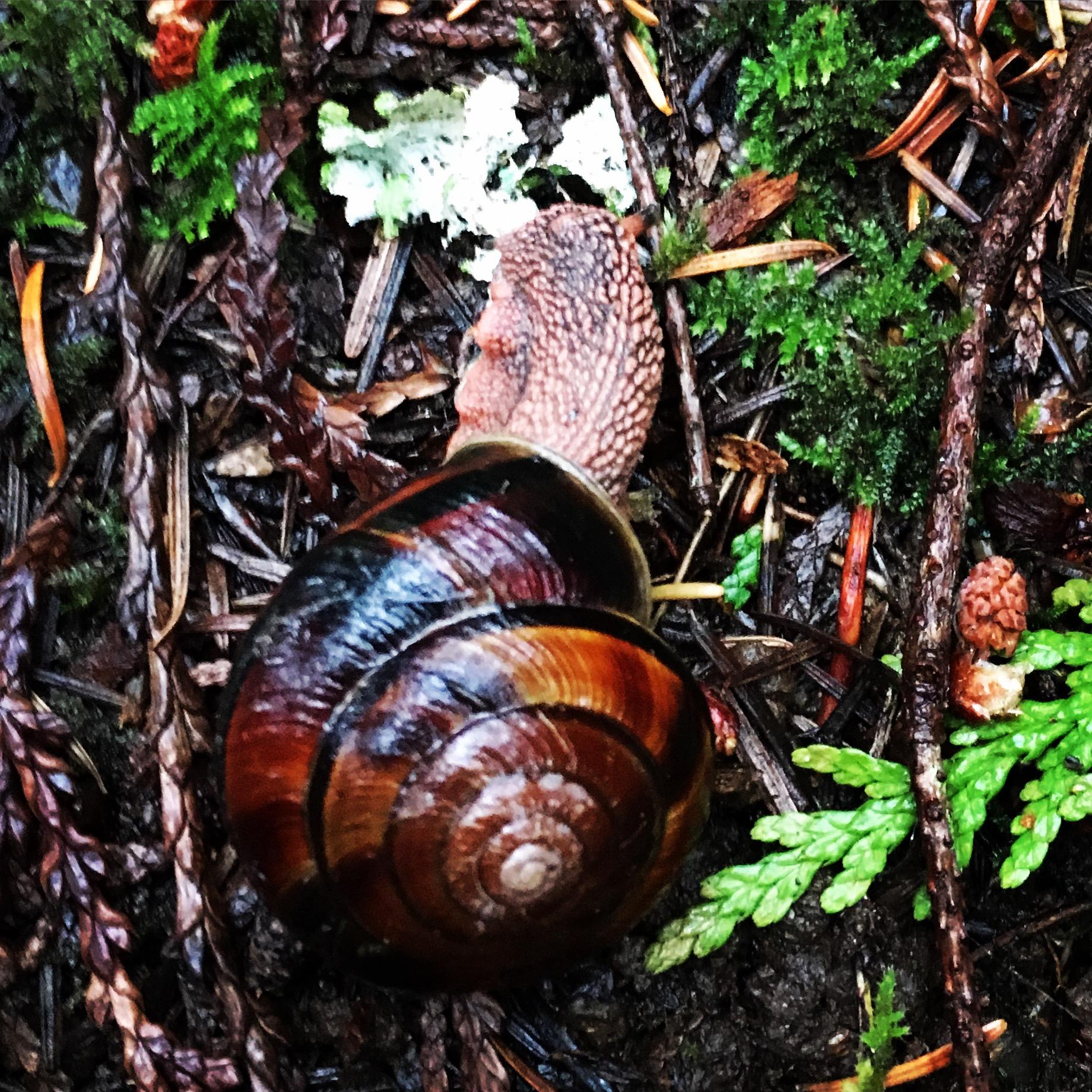 Native Snail.jpg