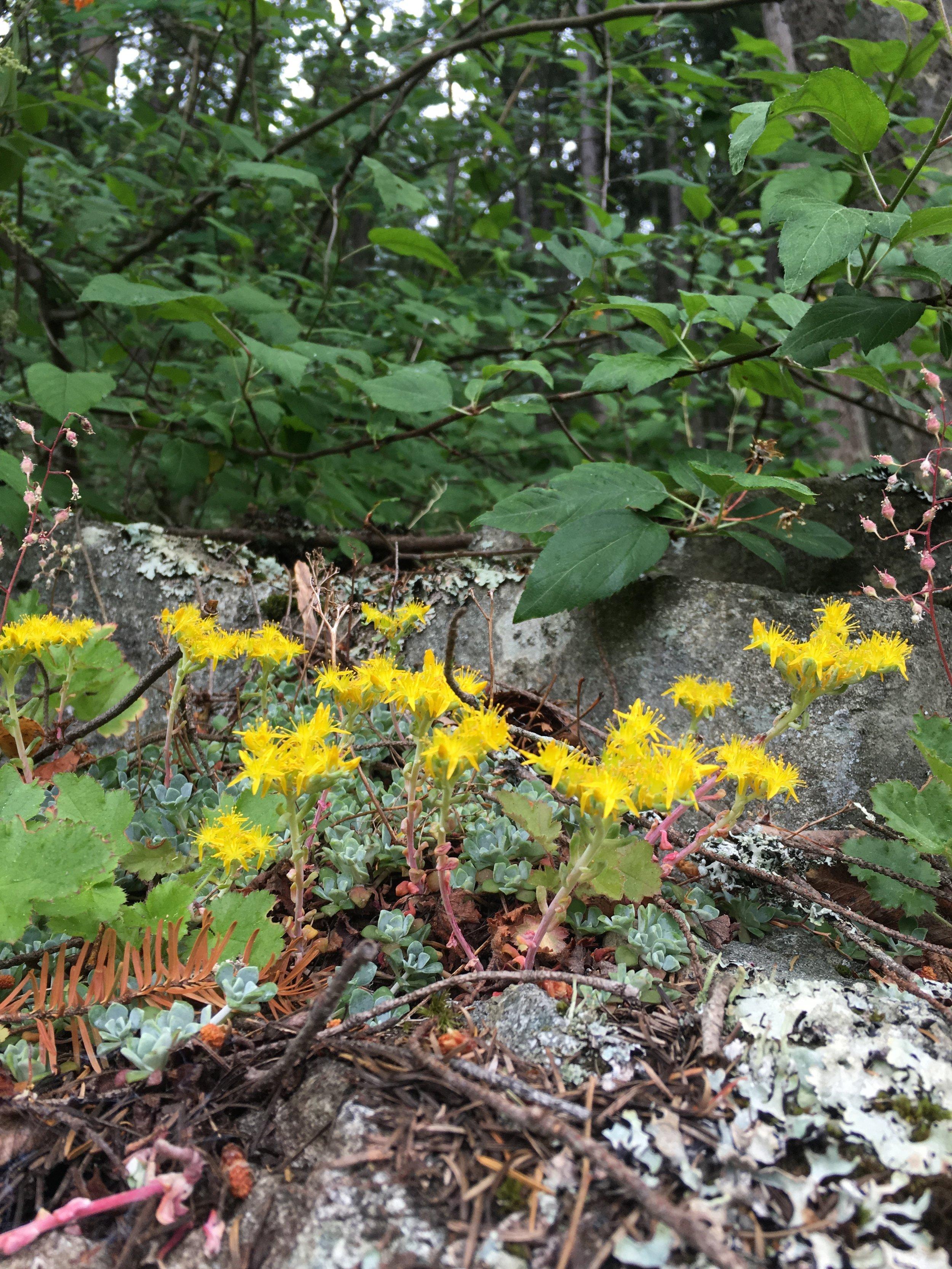 stonecrop in bloom.jpg