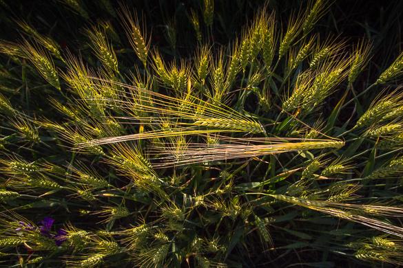 Summer harvest, Dobrogea 2017