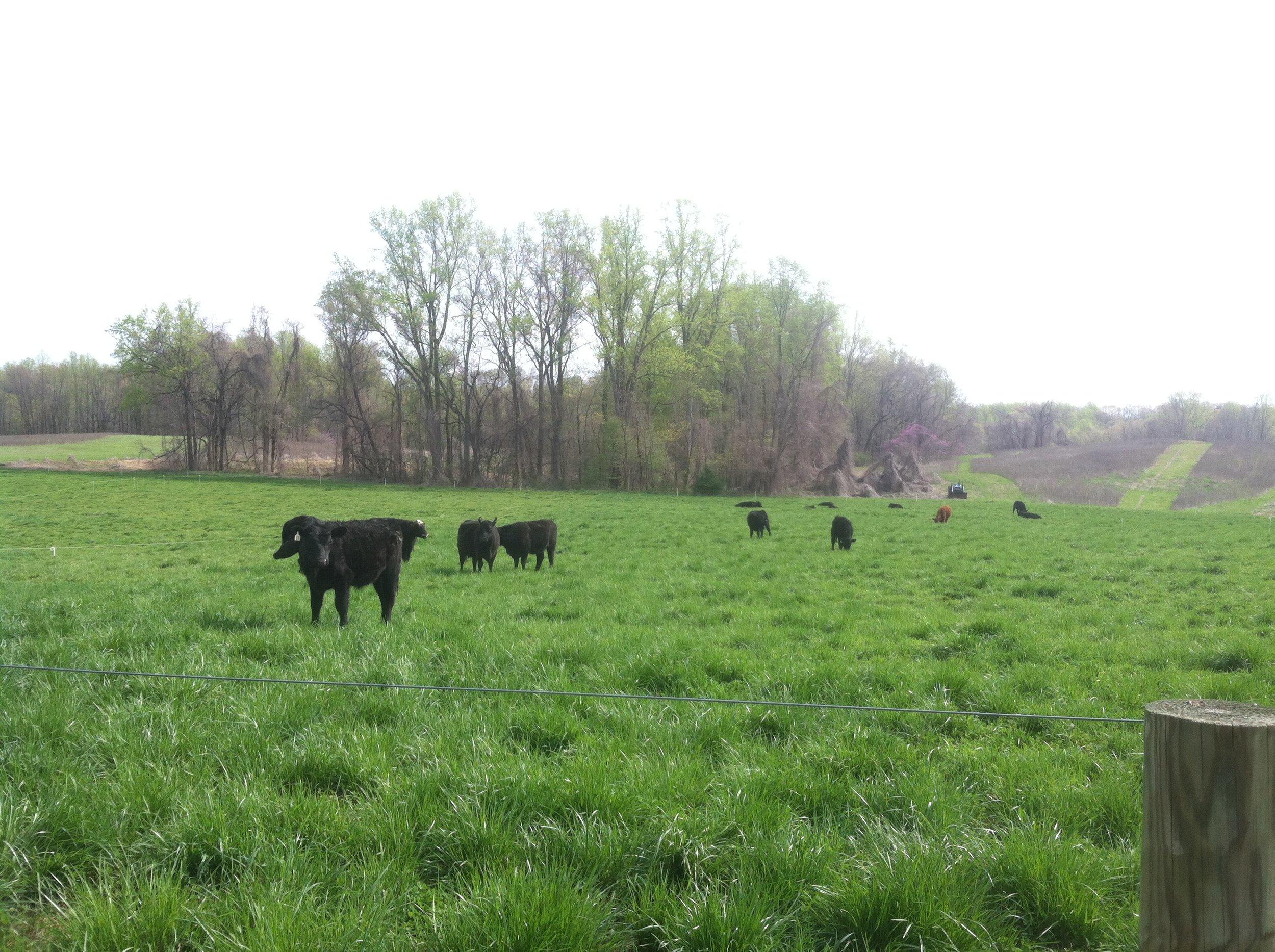 Maryland Grass Fed Beef Farm
