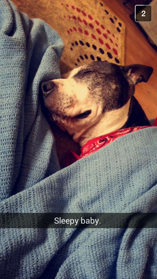 Sleeping_Pit_Bull