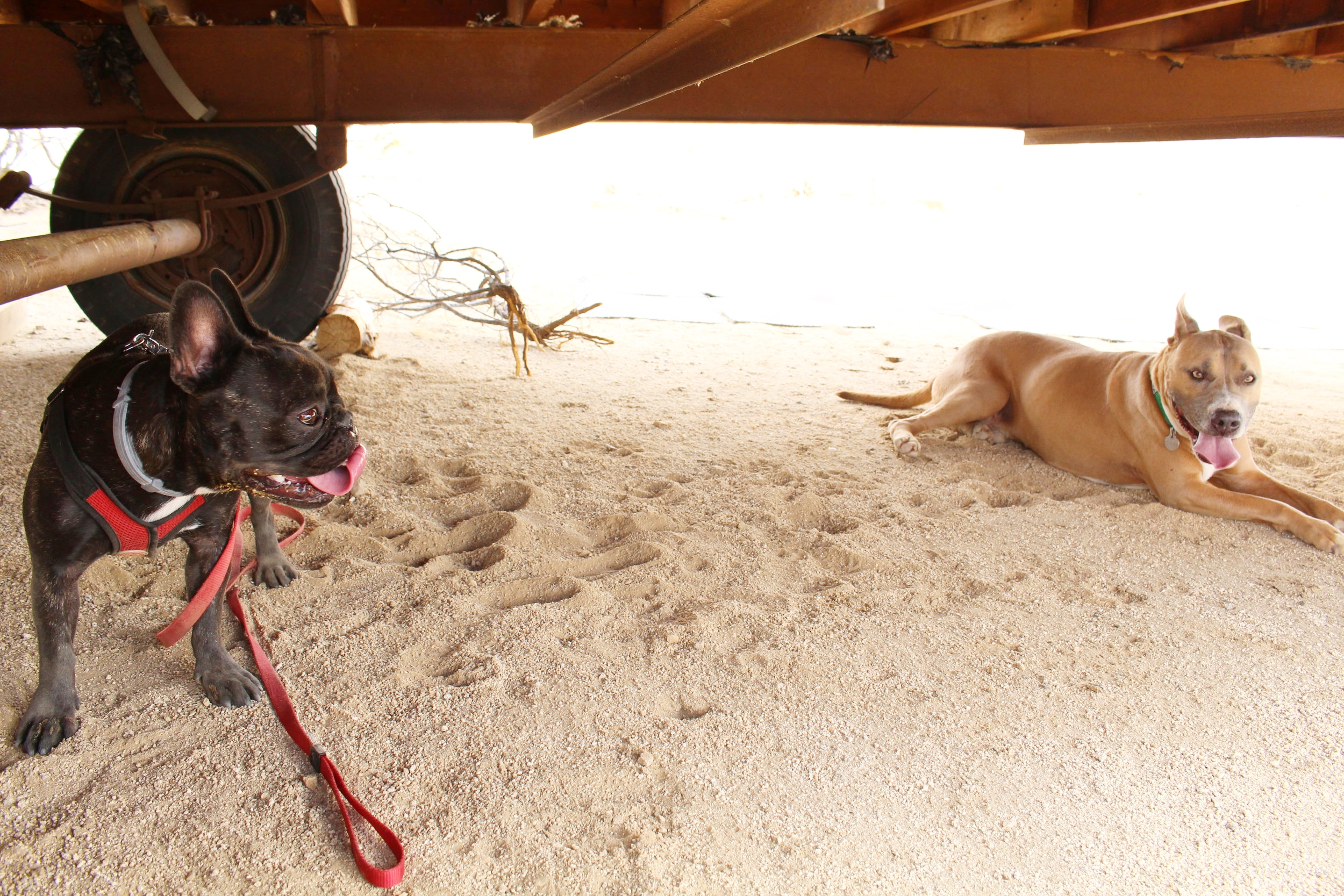 Willie and Mia keeping cool in the shade under the trailer
