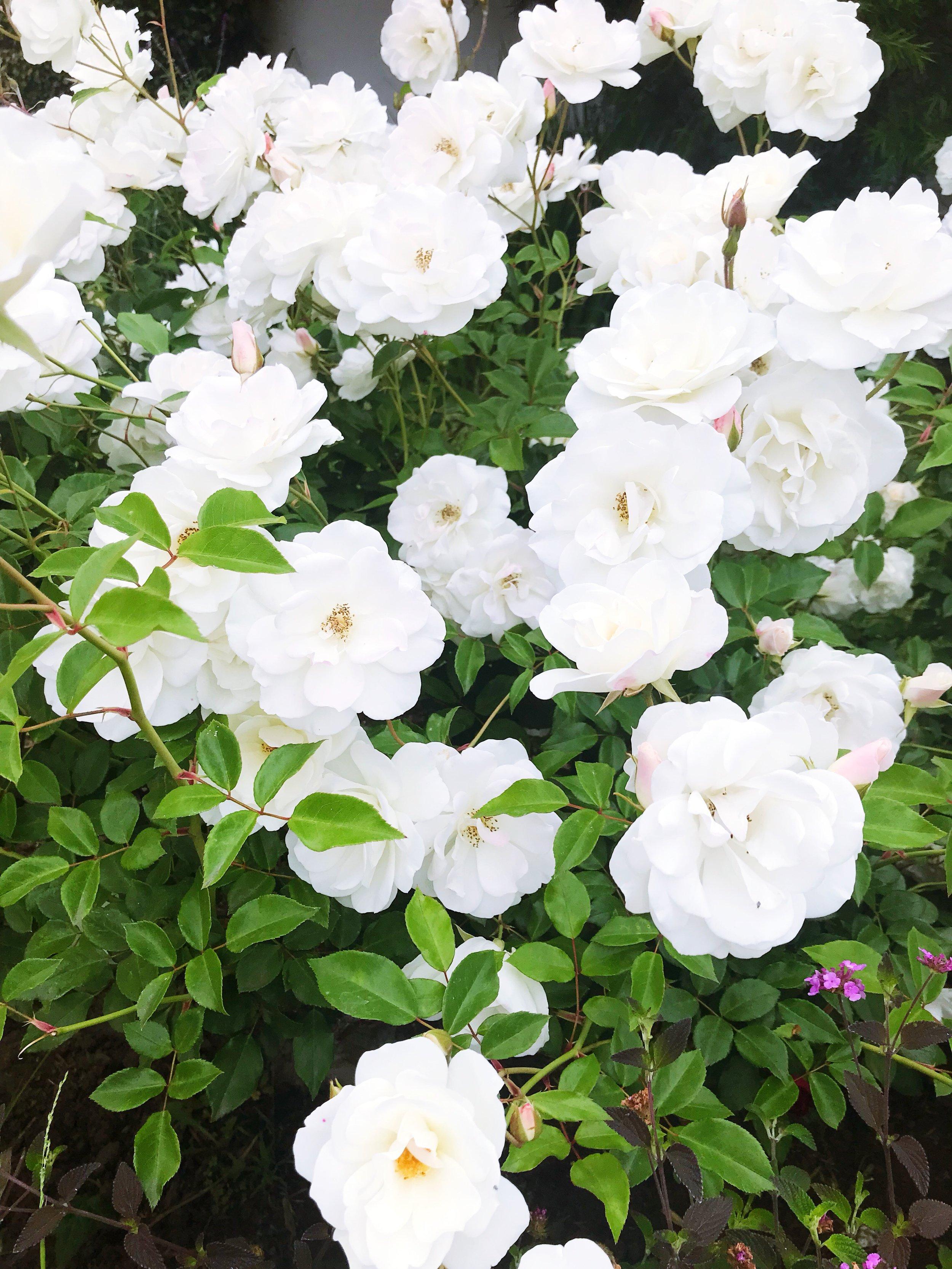 May_Roses.JPG