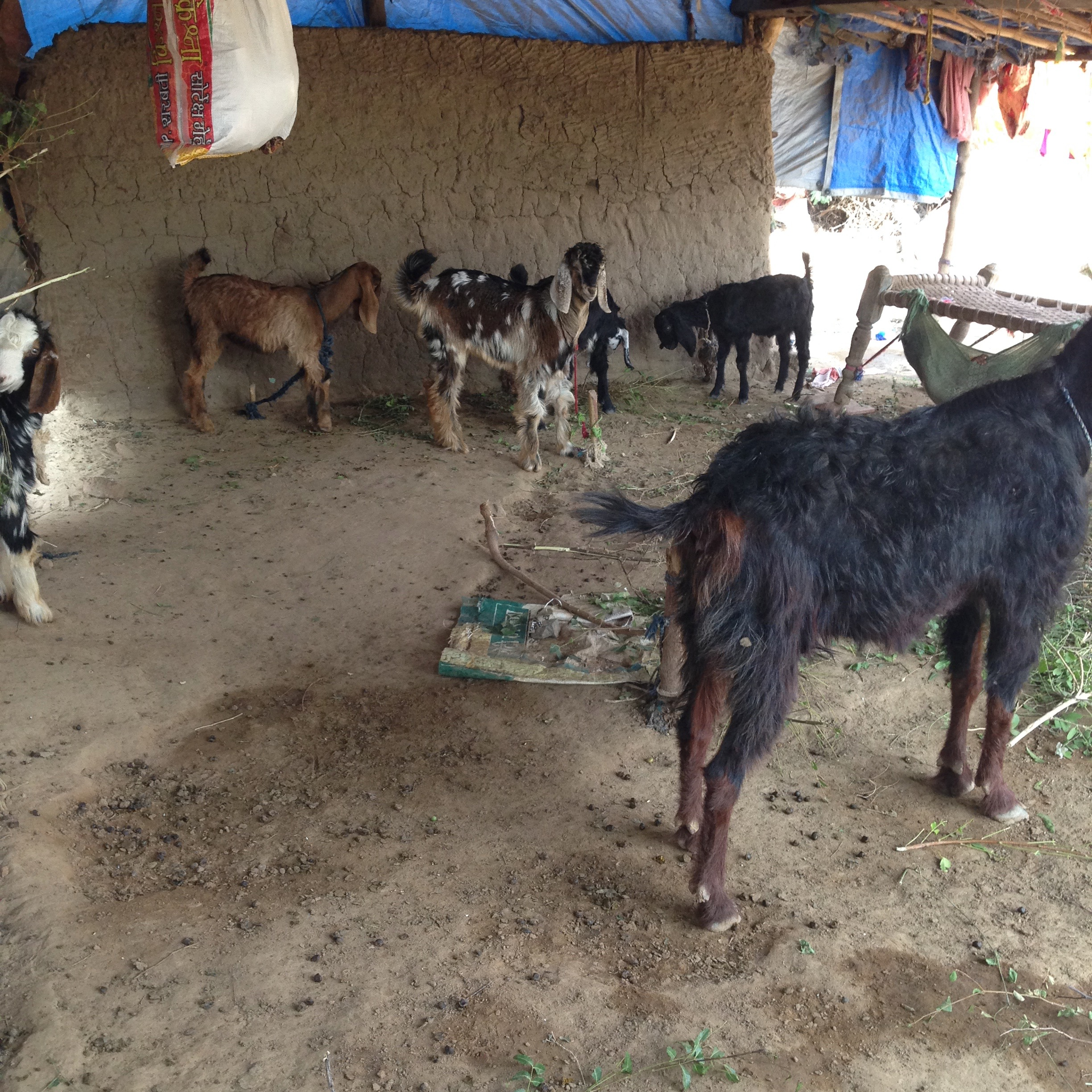Goats, Wadia village, Gujarat, India