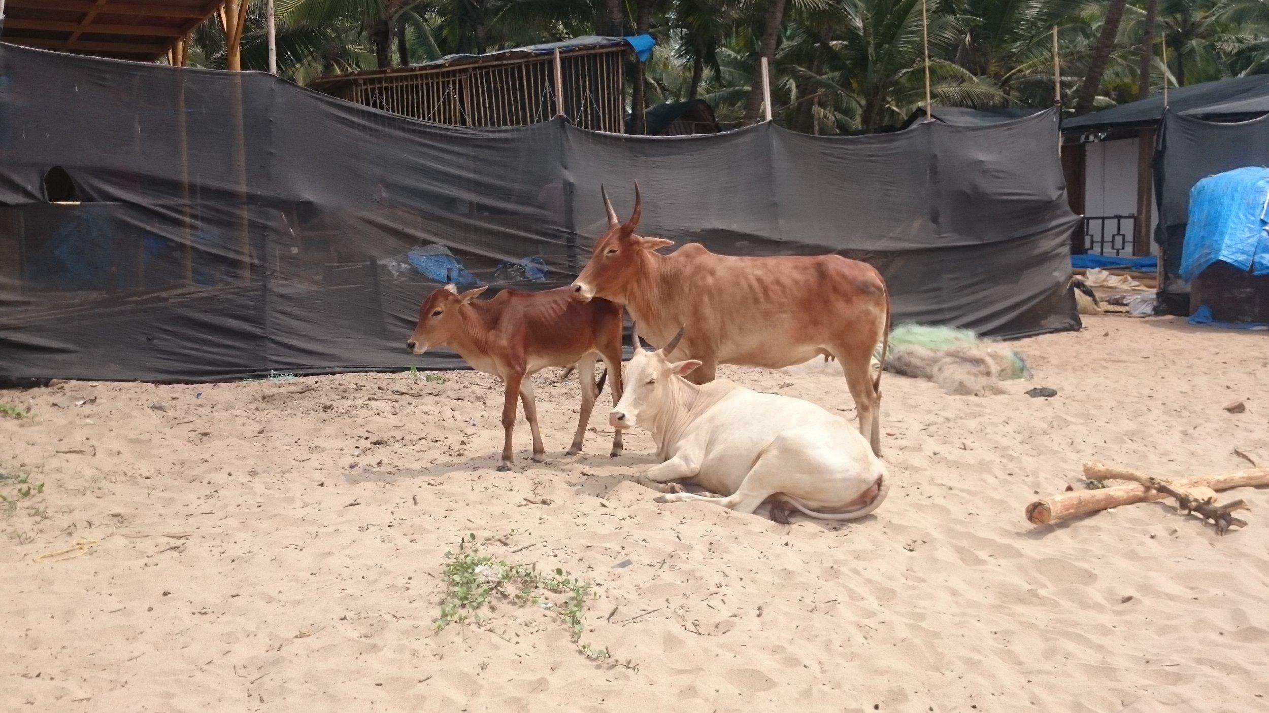Cows on the beach in Palolem, Goa.