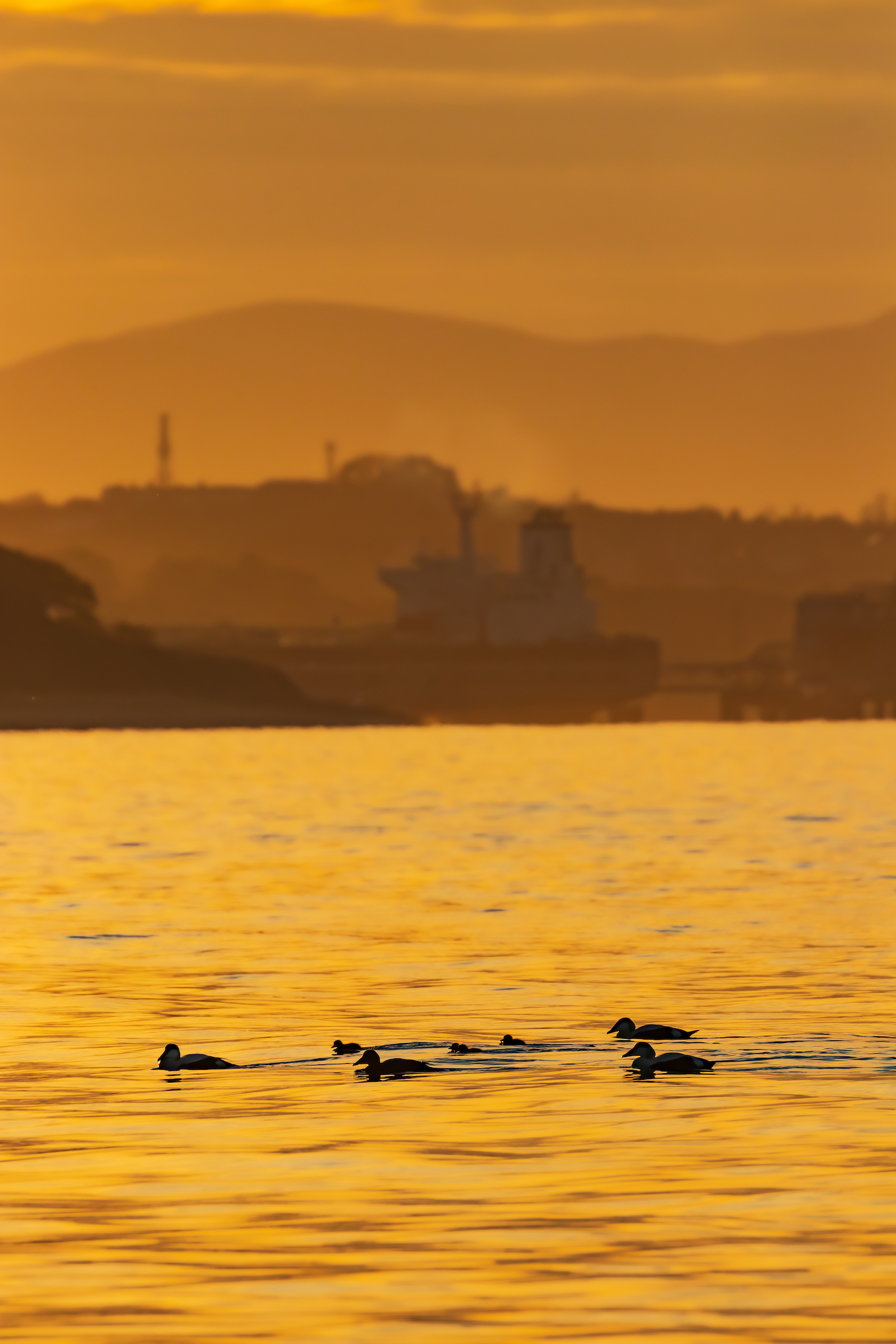 (1371) Nature Meets Industry, Common Eider Ducks and Ducklings, Somateria mollissima, St. Cuthbert's Duck, Cuddy's Duck, Hound Point Terminal, Firth of Forth, Rosebery Estate, Cramond, Edinburgh, Scotland. May 2019. Copyright David Wheater.jpg