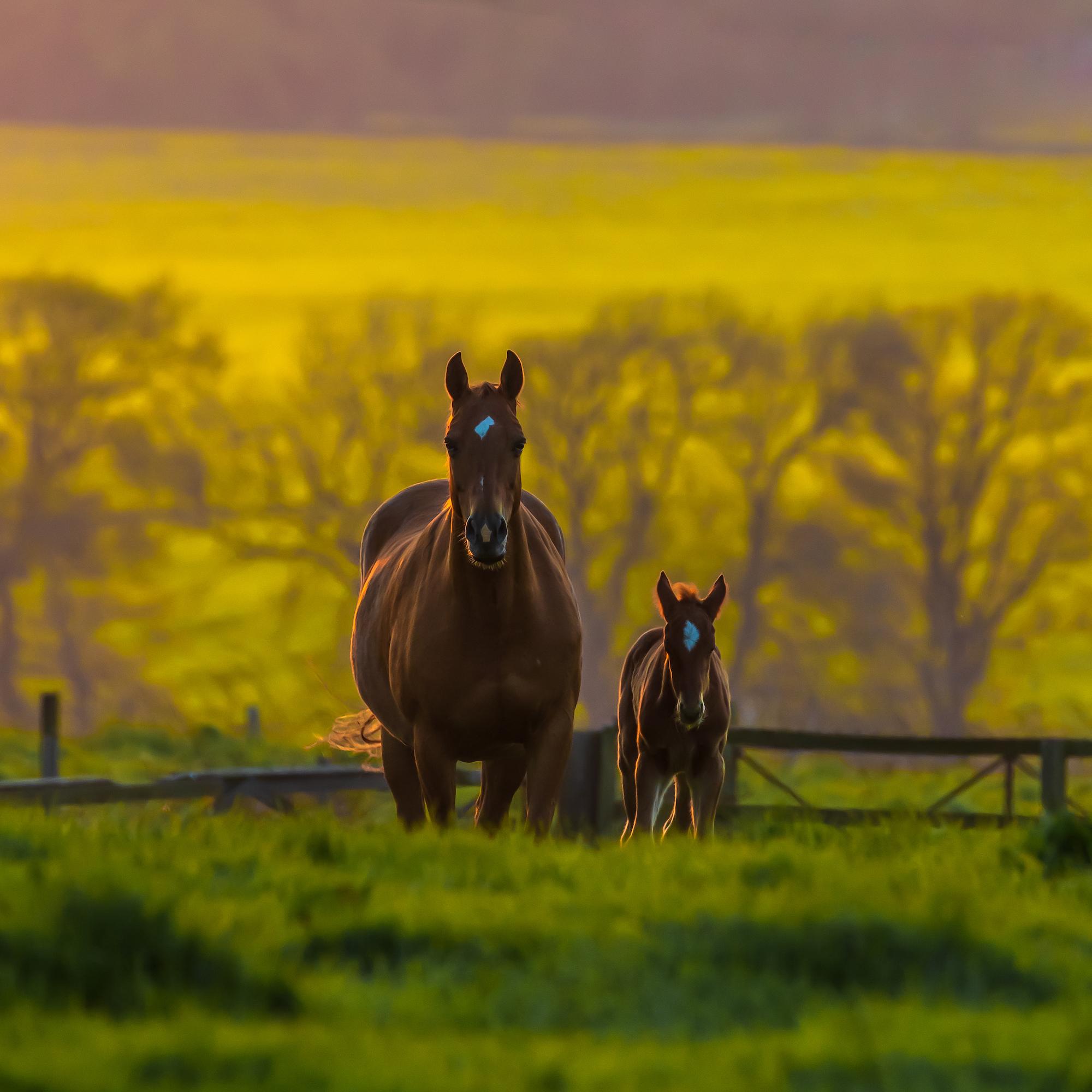 (1369) Mother & Foal in Field, Horses at Bonnington Mains, Ratho, West Edinburgh, Scotland. May 2019. Copyright David Wheater.jpg