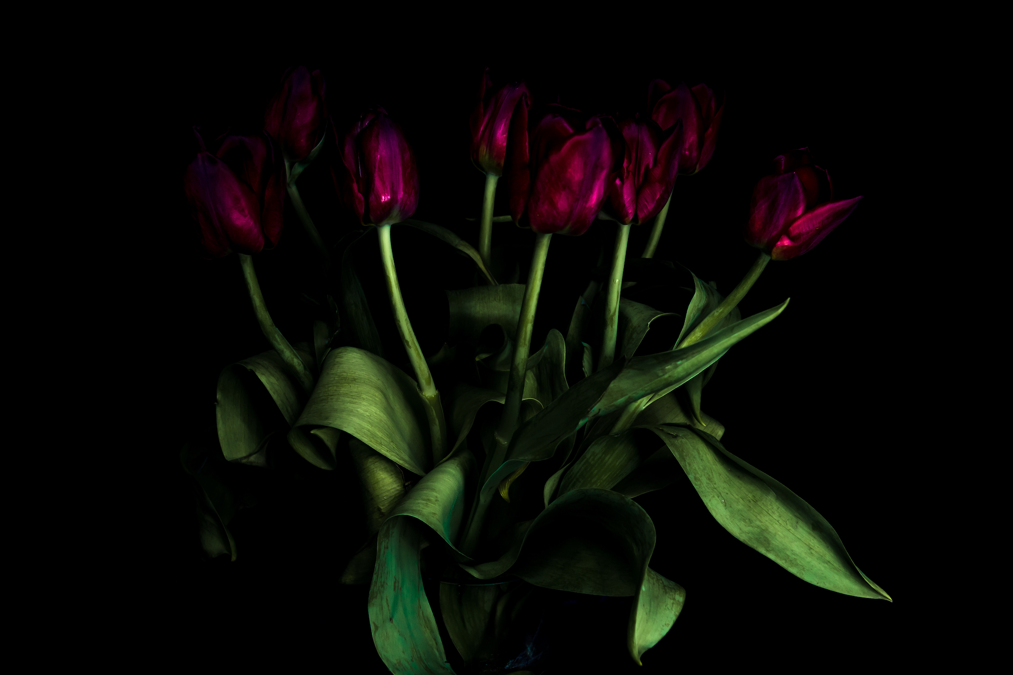 (1382) Red Tulips Light Painted With a Torch, Ratho, Edinburgh, 19 May 2019. Copyright David Wheater.jpg
