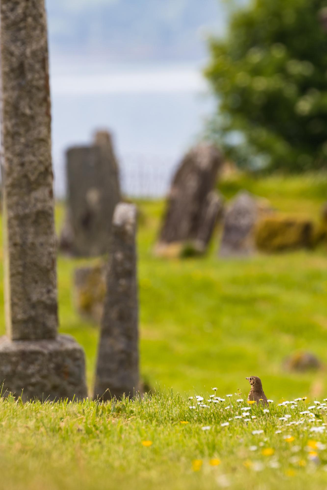(1157) Song Thrush Amongst the Daisies, Kiel Church, Lochaline, Morvern, Scottish Highlands, Scotland June 2018.jpg
