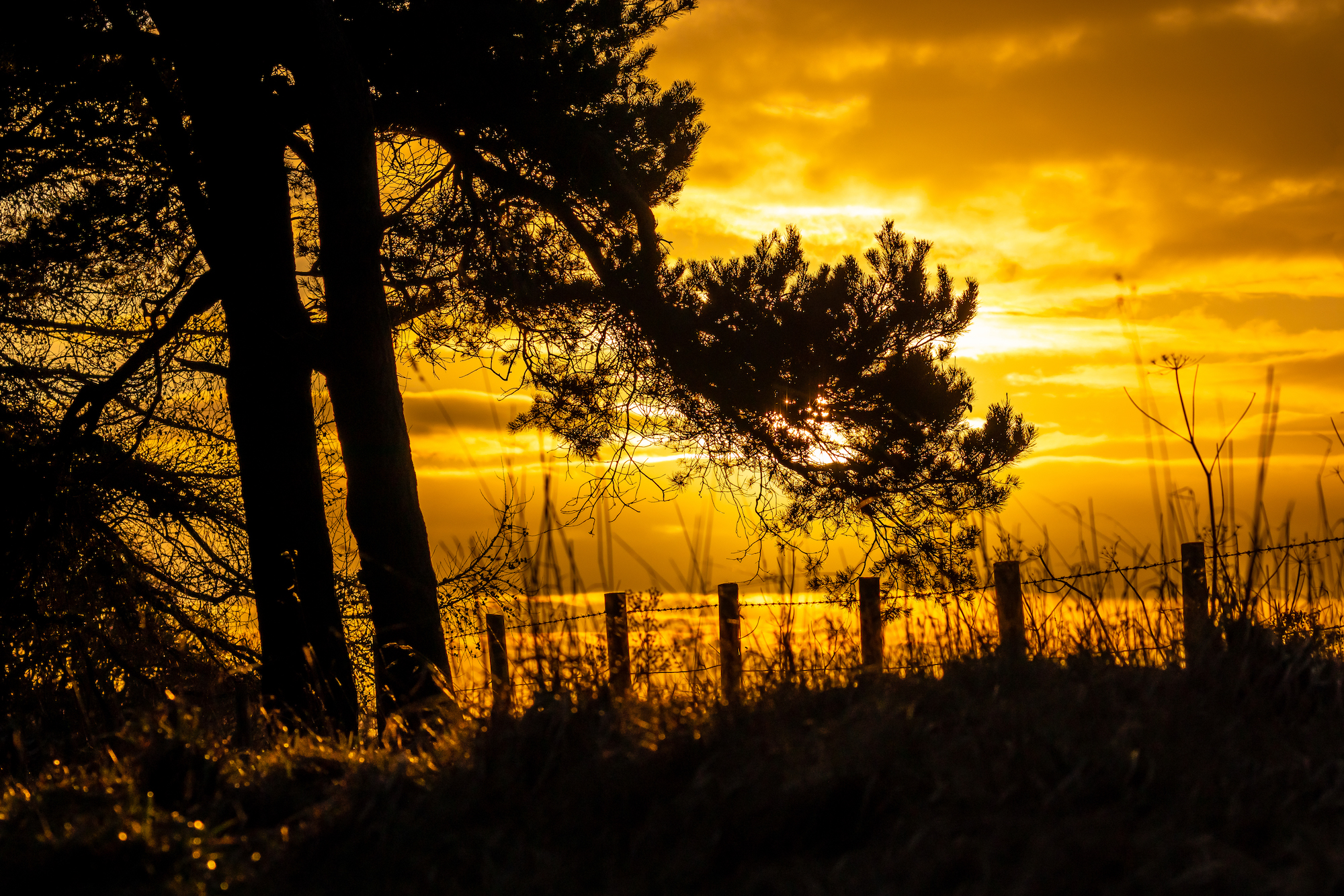 (1333) Golden Yellow January Sunset and Pine Trees, Tormain Wood, Ratho, Edinburgh West, Edinburgh, Scotland. Copyright David Wheater.jpg