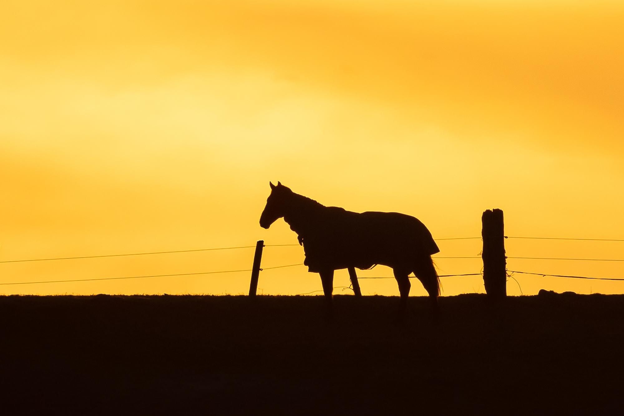 (1359) Horse in Golden Sunset, River Almond, Lins Mill, West Edinburgh, Scotland. Copyright David Wheater.jpg