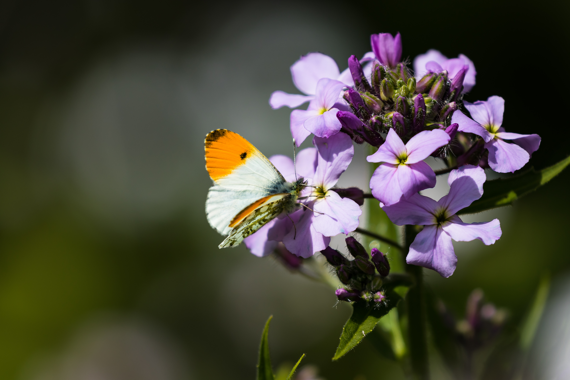 (1119) Orange Tip Butterfly, Malleny Garden, Balerno, Edinburgh, Scotland May 2018.jpg